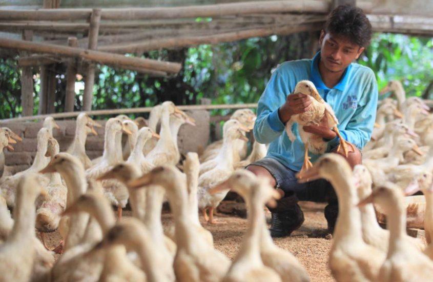 Cara Sukses Ternak Bebek yang Wajib Sedulur Ketahui