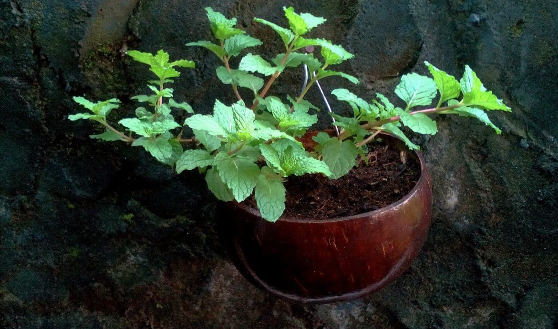13.   Bunga Peppermint