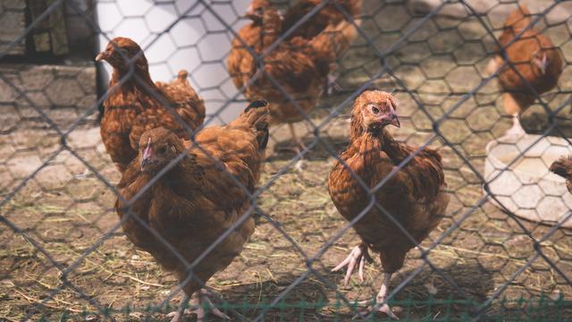4.   Berternak Ayam