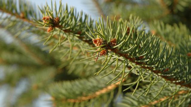 6.   Pohon Pinus