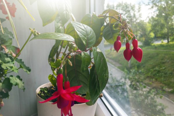 11. Fuchsia