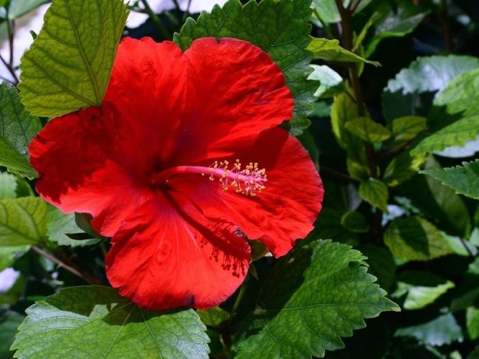 15. Hibiscus