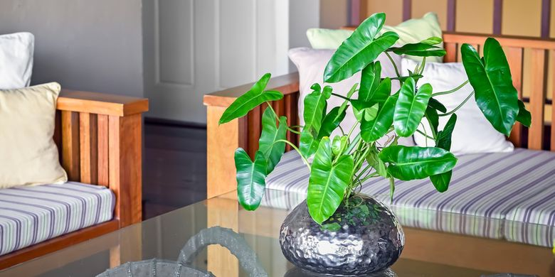 2. Philodendron