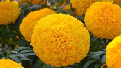 5. Marigold